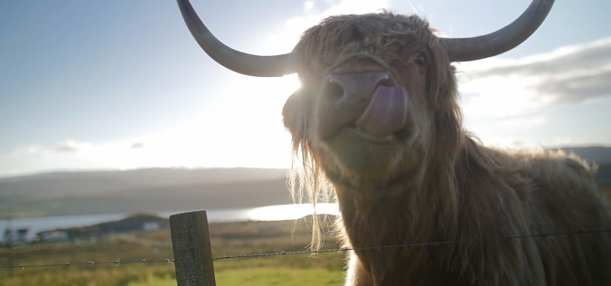 Cow Nose 1